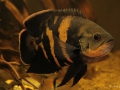 Astronotus cf. orbicularis