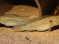 Crenicichla albopunctata (Paar)