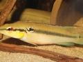 Crenicichla albopunctata (Weibchen)