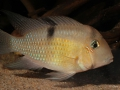 Guianacara sp. Jatapu