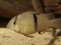 Guianacara sp. Jatapu (juvenil)