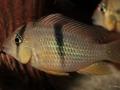 Guianacara sphenozona (juvenil)