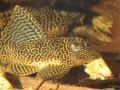 Hypancistrus sp. L399