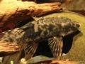 Sturisomatichthys sp.